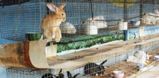 merawat kelinci hamil