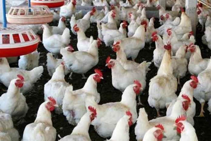 memberikan vaksin ayam