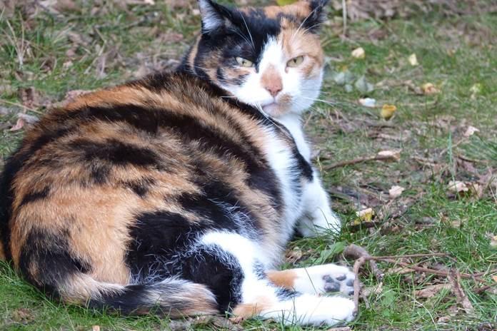 induk kucing melahirkan