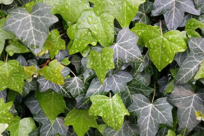 daun Ivy