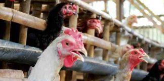ayam kampung sakit