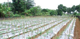 hama tanaman cabai