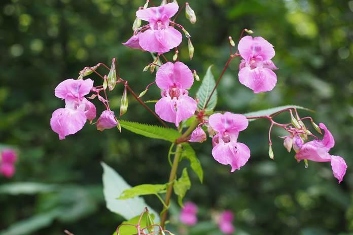 Impatiens balsaminaceae