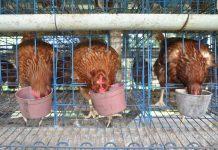 kesehatan ayam petelur