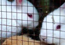 bibit kelinci