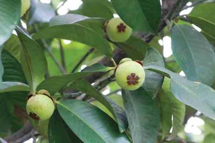 lokasi menanam pohon manggis