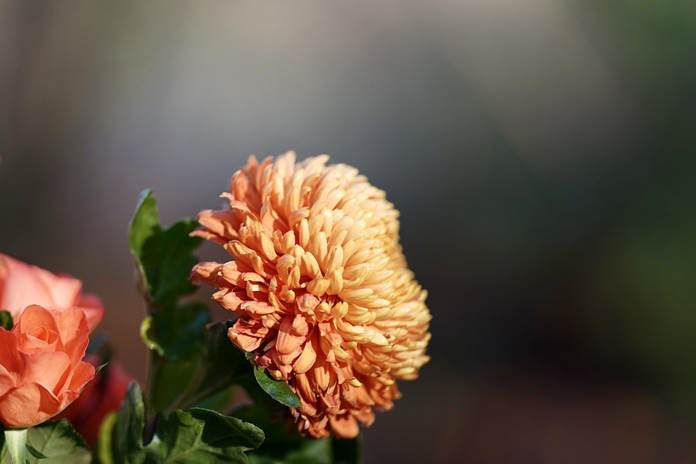 jenis bunga krisan