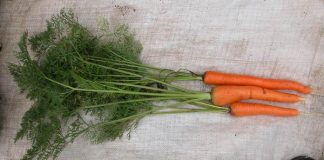 Sayuran Umbelliferae