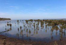 bibi mangrove