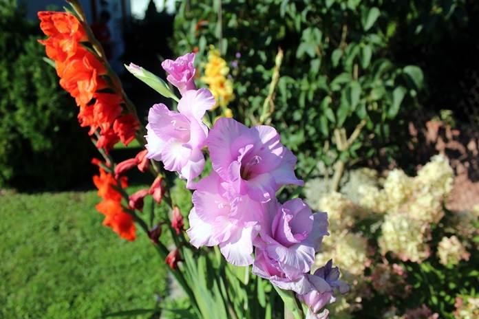 menanam bunga gladiol