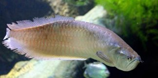 ikan arwana stress