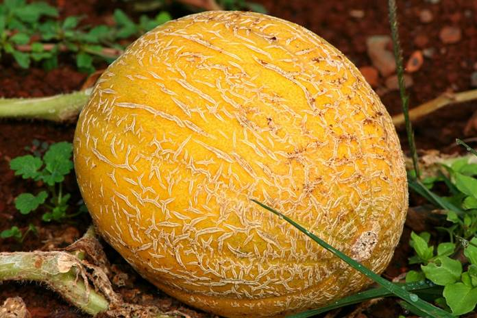 lokasi menanam melon