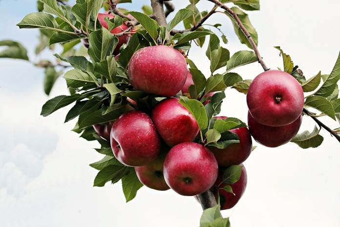 perompesan daun apel