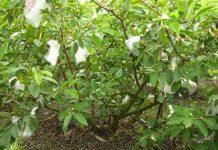 bibit pohon jambu biji