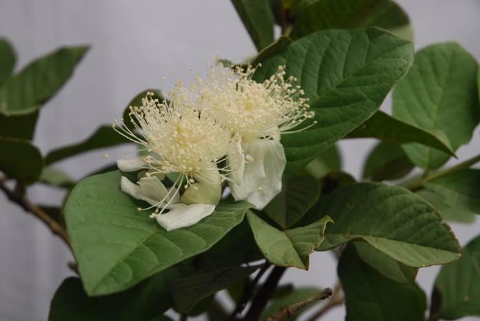menanam pohon jambu biji