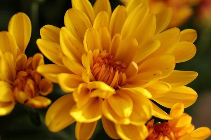 varietas bunga krisan