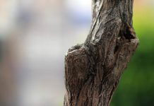 pelukaan pohon