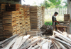 pengawetan kayu jabon