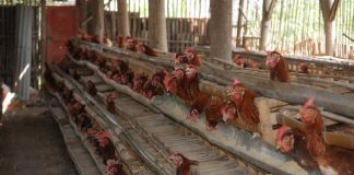 keseragaman ayam petelur