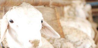 kambing keguguran