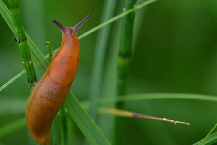 hama slug