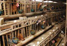 kandang ayam petelur