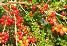 pupuk untuk pohon kopi