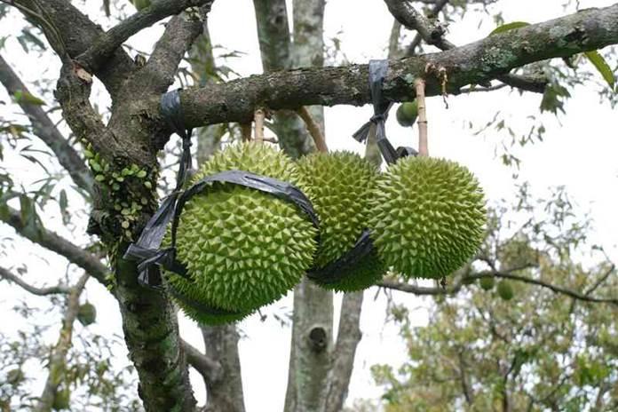 tabulampot durian