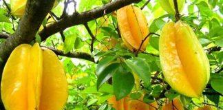 penjarangan buah