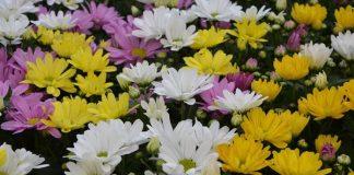 menanam bunga krisan