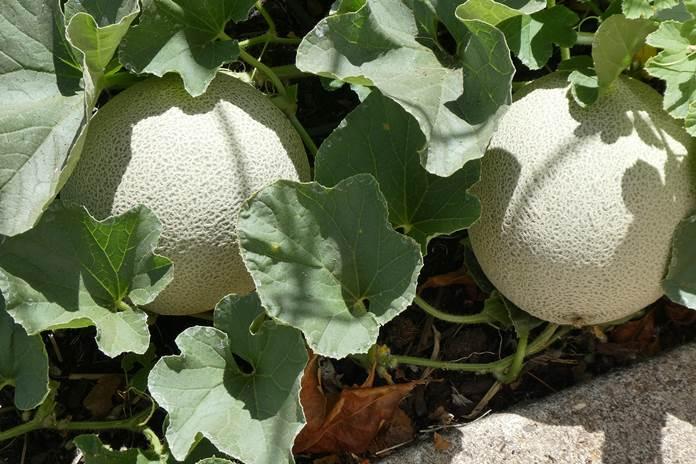 penyerbukan bunga melon