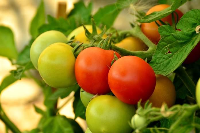 pengairan tanaman tomat
