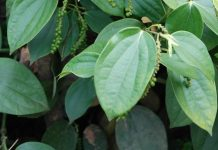 hama tanaman lada
