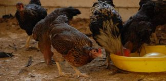 air minum ayam kampung