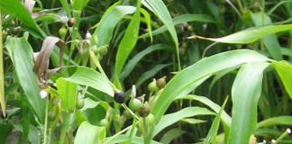 tumbuhan jali
