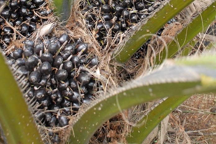 planter kelapa sawit