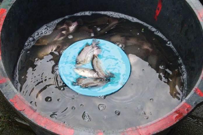 produktivitas ikan gurami