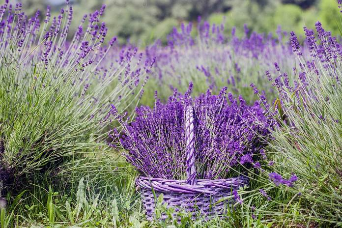 menanam bunga lavender
