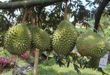 menanam durian musang king
