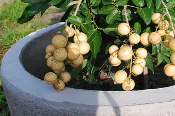 menanam lengkeng di pot