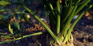merawat tanaman seledri