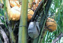 ampas kelapa