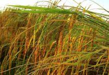 penggilingan padi