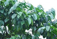 peangkasan pohon kopi