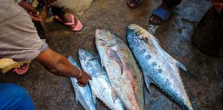 penyakit ikan laut