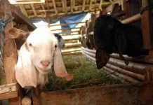 induk kambing