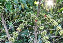 pupuk organik pohon kopi
