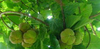 pohon kemiri sunana