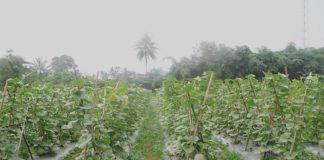 pupuk tanaman semangka