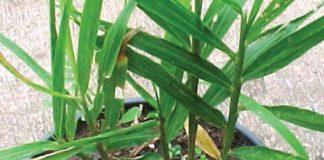 pupuk dasar tanaman jahe